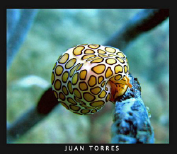 Flamingo Tongue, Culebra Island. Puerto Rico by Juan Torres 